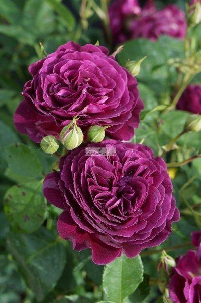 Róża wielkokwiatowa Purple Eden ® (rosa)