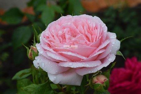 Róża wielkokwiatowa Voyage (rosa)