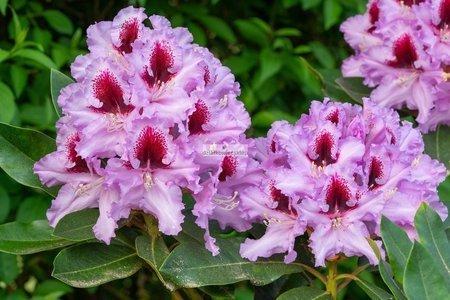 Różanecznik Kabarett (rhododendron)