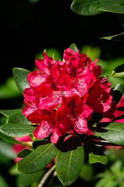 Różanecznik Karlo Neue (rhododendron)