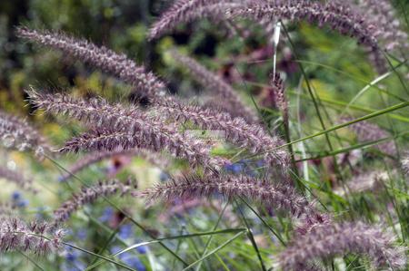 Rozplenica japońska Karley Rose (1 szt.) (paninisetum)