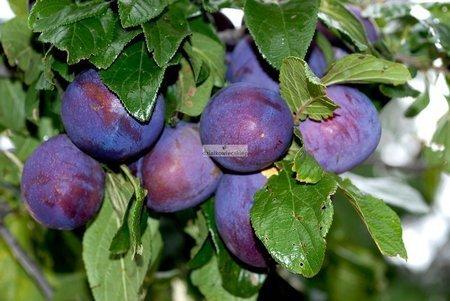 Śliwa President (Prunus domestica )