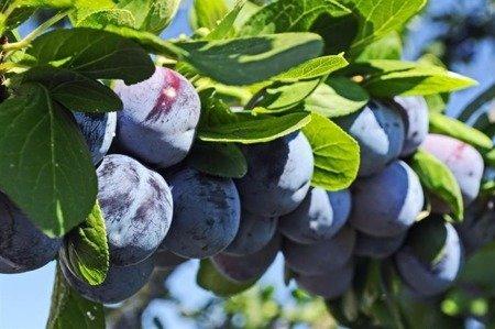 Śliwa kolumnowa Fruca - wczesne owocowanie