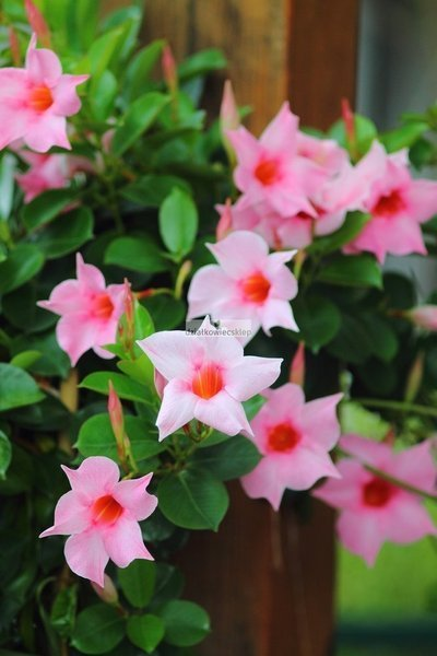 Sundaville Pink