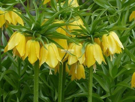 Szachownica Lutea (1 szt.) (Fritillaria)