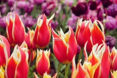 Tulipan liliokształtny Aladdin (5 szt.) (Tulip)