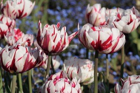 Tulipan pełny-późny Carnaval De Nice (5 szt.) (Tulip)