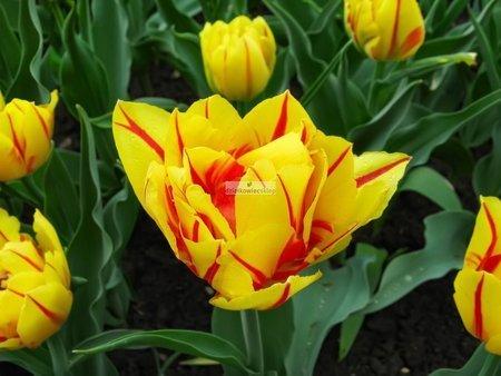 Tulipan pełny-wczesny Monsella (5 szt.) (Tulip)