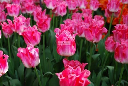 Tulipan triumph Crown of Dynasty (5 szt.) (Tulip)