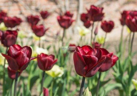 Tulipan triumph Jan Reus (5 szt.) (Tulip)