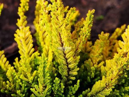 Wrzos pospolity Westerly Gold (Calluna vulgaris)