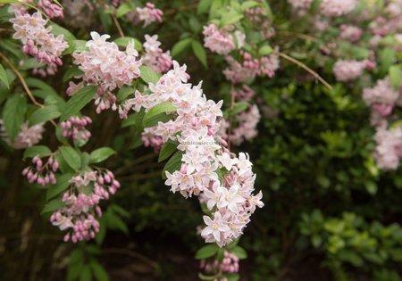 Żylistek Kalmiiflora (Deutzia purpurascens)