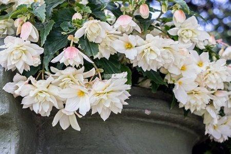 Begonia zwisająca biała (1 szt.)